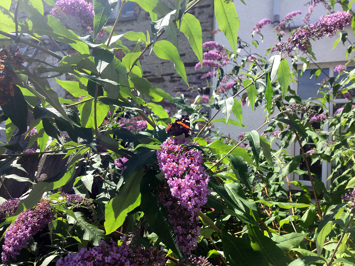 buterfly-on-buddleia